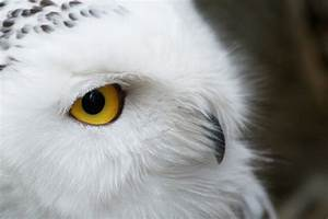 Flying Animal: The Snowy Owl