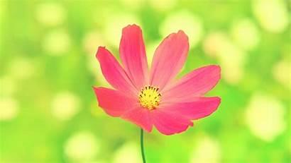Flower Cosmos Flowers Pink Wallpapers Nature Desktop
