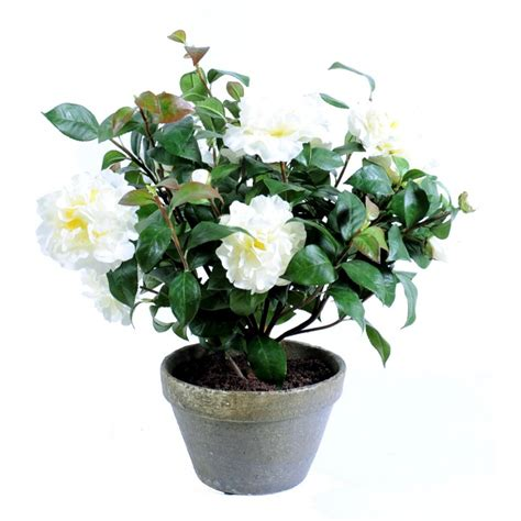 arrosage camelia en pot camelia artificiel pot terre