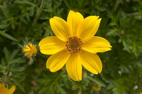 Yellow Charm Bidens: Timeless Collection - Annual Flowers ...