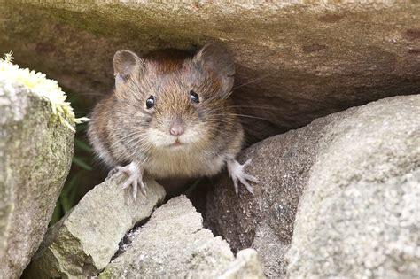 Ratten Bekaempfen Und Aus Dem Haus Vertreiben by M 228 Use Bek 228 Mpfen Und Vertreiben So Ist Aus Die Maus Im Haus