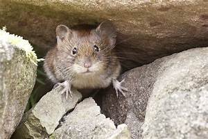 Hausmittel Gegen Mäuse : m use bek mpfen und vertreiben so ist aus die maus im haus ~ Lizthompson.info Haus und Dekorationen