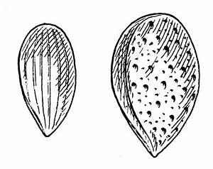 Almond Tree Drawing
