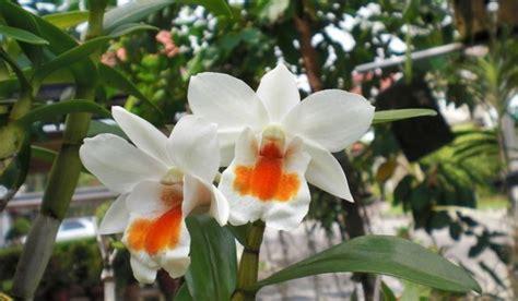 mengenal tumbuhan paku suplir klasifikasi tumbuhan
