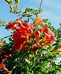 Pflanze Mit Roten Blüten : trompetenbaum ~ Eleganceandgraceweddings.com Haus und Dekorationen