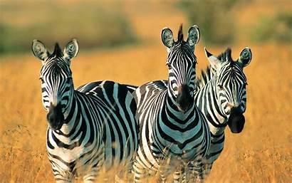 Zebra Backgrounds Desktop Animal Wallpapers Zebras Wide