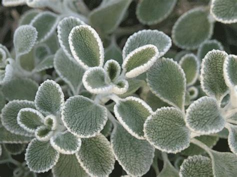 78+ Images About Silver  Grey Foliage Plants In The