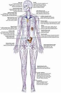 Lymphatic System Diagrams Neck And Mouth