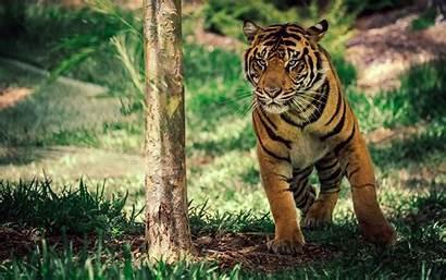Tiger Wildlife Savanna Wallpapers 1280 1600 1200