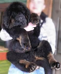 Tibetan Bear Mastiff Dog Puppies