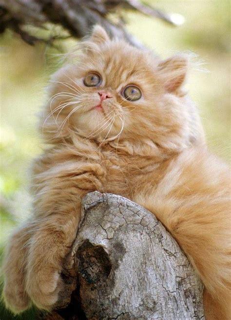 le chat persan en   qui vous feront aimer cette
