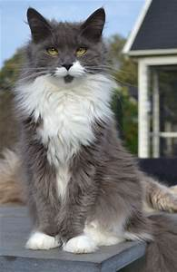 Maine Coon Blue Solid & White Flowercoon's Orki-Dee of ...