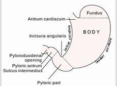 Pylorus Simple English Wikipedia, the free encyclopedia