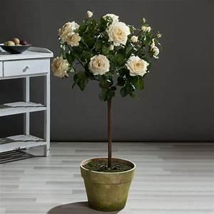 Rosen Im Topf Pflege : rosen im topf 301 moved permanently k nstliche rosen im ~ Lizthompson.info Haus und Dekorationen