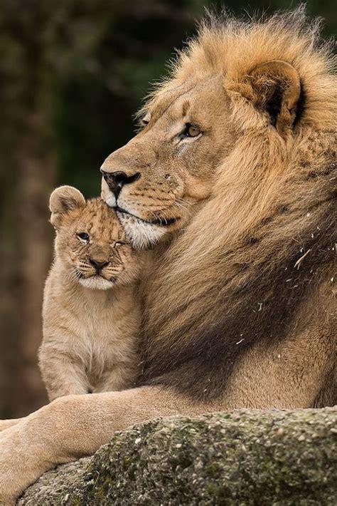 lion  young cub luvbat
