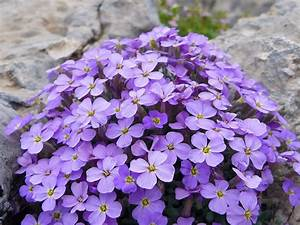 Blumen Winterhart Mehrjährig : steingartenpflanzen ~ Whattoseeinmadrid.com Haus und Dekorationen