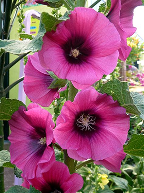 hollyhock alcea halo cerise buy   annies annuals