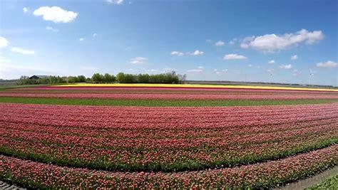 tulips bed farm hd tulips garden stock footage video 5063303 shutterstock