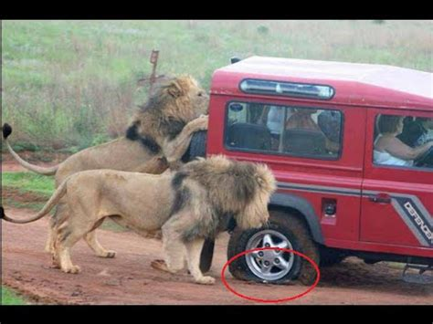 african animals lions attack wild animals attacking