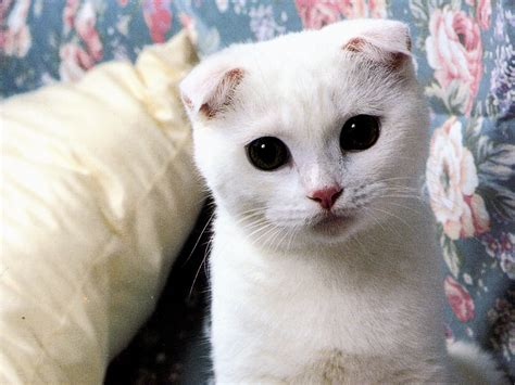 scottish fold cat scottish fold cats adeeyoyo s
