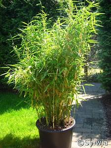 Bambus Pflanzen Kübel : fargesia murielae jumbo ~ Frokenaadalensverden.com Haus und Dekorationen