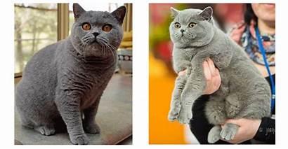 British Shorthair Cat Russian Which Korat Burmese