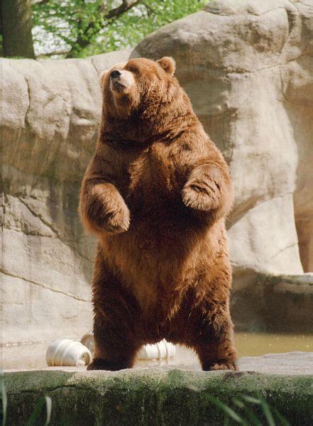 beruang cokelat wikipedia bahasa indonesia ensiklopedia
