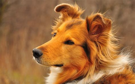 High Resolution Animal Wallpapers - collie desktop wallpapers this wallpaper