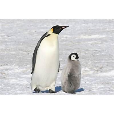 His Handiwork: Emperor Penguin