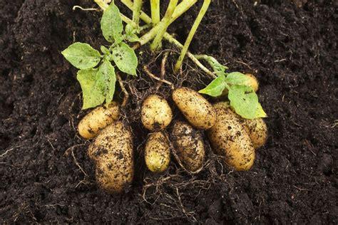 cuisiner des pommes de terre ratte pomme de terre ratte culture plantation cuisine ooreka