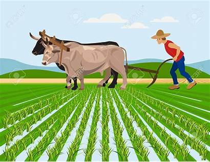 Farmer Field Plowing Paddy Oxen Indian Vector