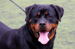 The most dangerous dog breeds in the world for Rottweiler dangerous dog