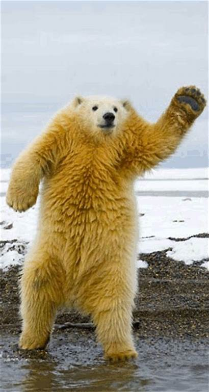 Bear Polar Dancing Animals Animal Gifs Without