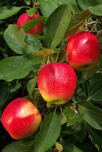 Seedlings India Apple Live Plant