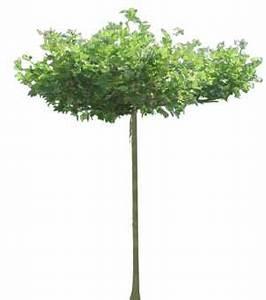 Kleiner Baum Mit Breiter Krone : baum platane platanus staffageobjekte archinoah ~ Michelbontemps.com Haus und Dekorationen