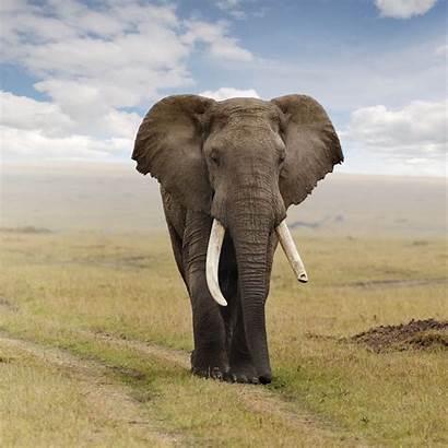 Elephant Gambar Gajah African Villains Elefante Leader