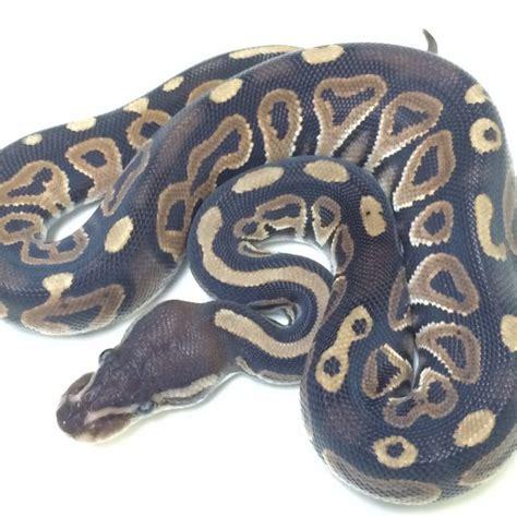 Python Shedding And Feeding by Baby Cinnamon Python