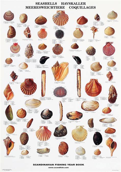 seashell poster beautiful chart   seashells