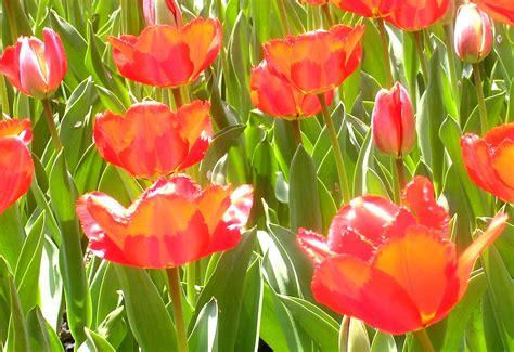 do tulips need sun or shade top 28 do tulips need sun or shade south central