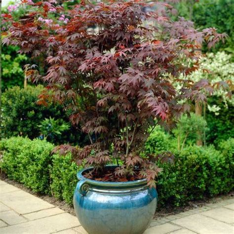 buy acer palmatum atropurpureum 1 plant in 9cm pot from our plants range tesco