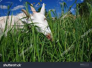 Goat Eating Grass Stock Photo 60157120   Shutterstock