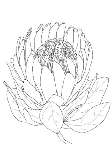 protea flower coloring page  printable coloring pages