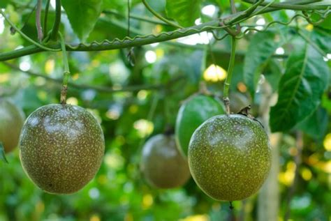 Exotic Fruit Trees  Passion Fruit Vine Large