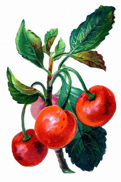 Cherries Graphic Fruit Graphics Cherry Fairy Fruits