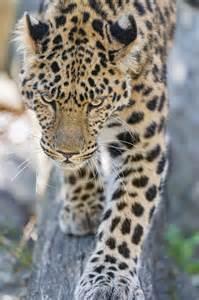 Jaguar Walking towards Camera
