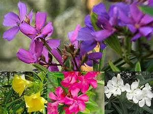 10 Health Benefits Of Oleander Flower