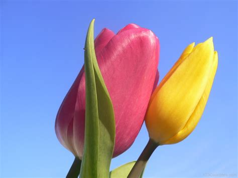 Tulip Flower Image by National Flower Of Hungary Tulip 123countries