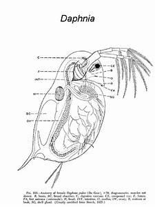 Daphnia Magna Diagram Sketch Coloring Page
