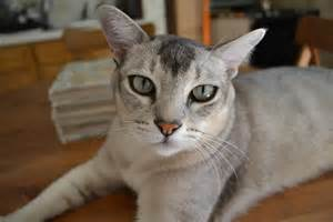 non shedding cats non shedding cat breeds fact or myth breeds picture
