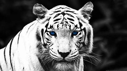 Tiger 1080p Desktop Wallpapers Backgrounds Pc Awesome